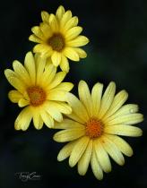 Yellow Trio