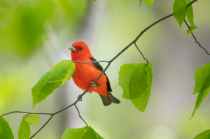 The Scarlet Tanager