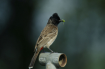 Red vented bulbul with a kill