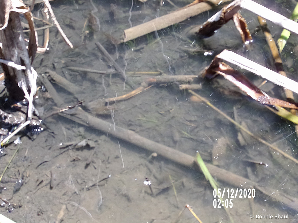Tadpoles Swimming In The Creek