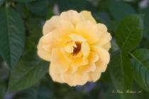 Single Soft Yellow