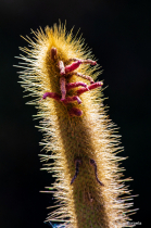 Berkeley Botanical Garden  Cactus