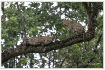 Kabini-mating pair of leopards !