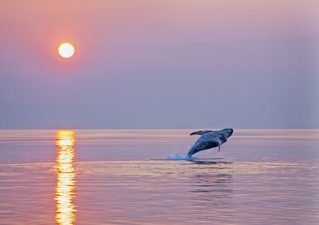 Breaching Whale at Sunset