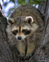 Pudgy Bandit