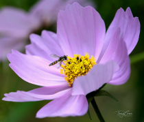 Hoverfly on Cosmos