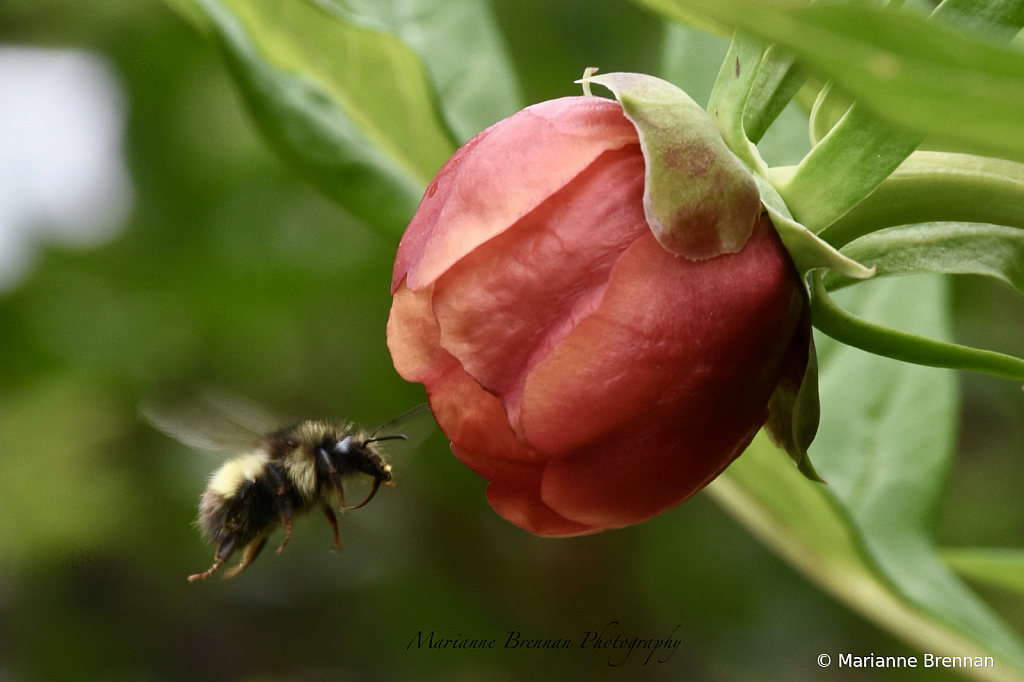 Red Peony and Bee
