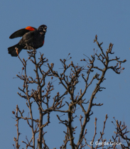 Red winged Blackbird Calling to His Mate