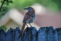 The elusive Brown thrasher!