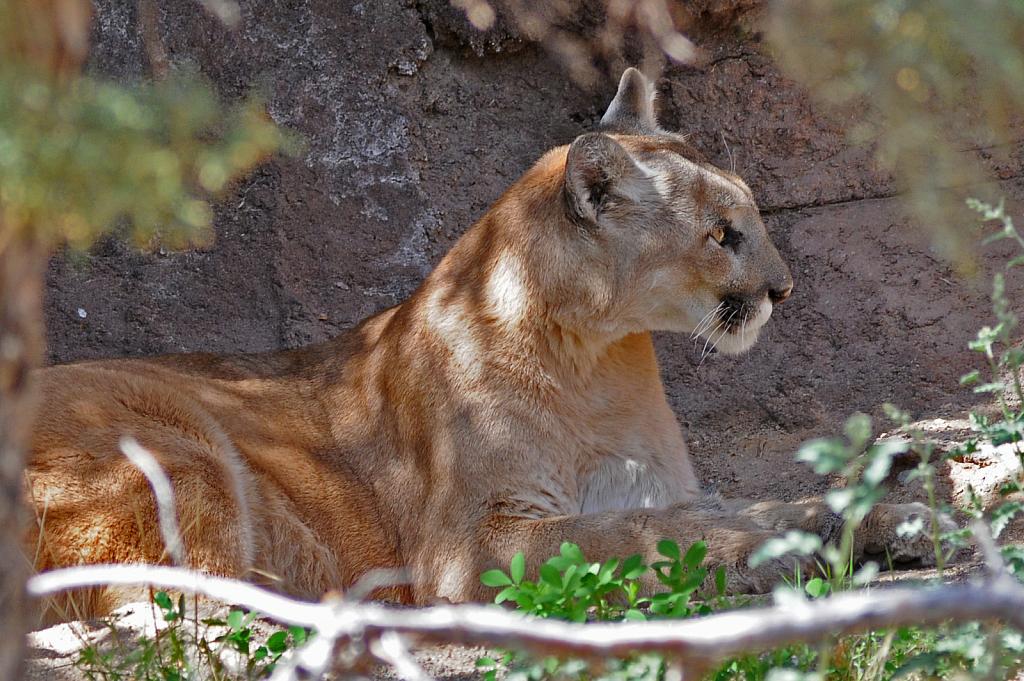 Mountain Lion - ID: 15819528 © William S. Briggs