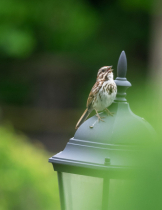 Song Sparrow - Close Up