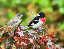 Male& Fem- Grosbeak