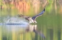 Osprey-low Flight