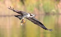 osprey-W- Fish Catch