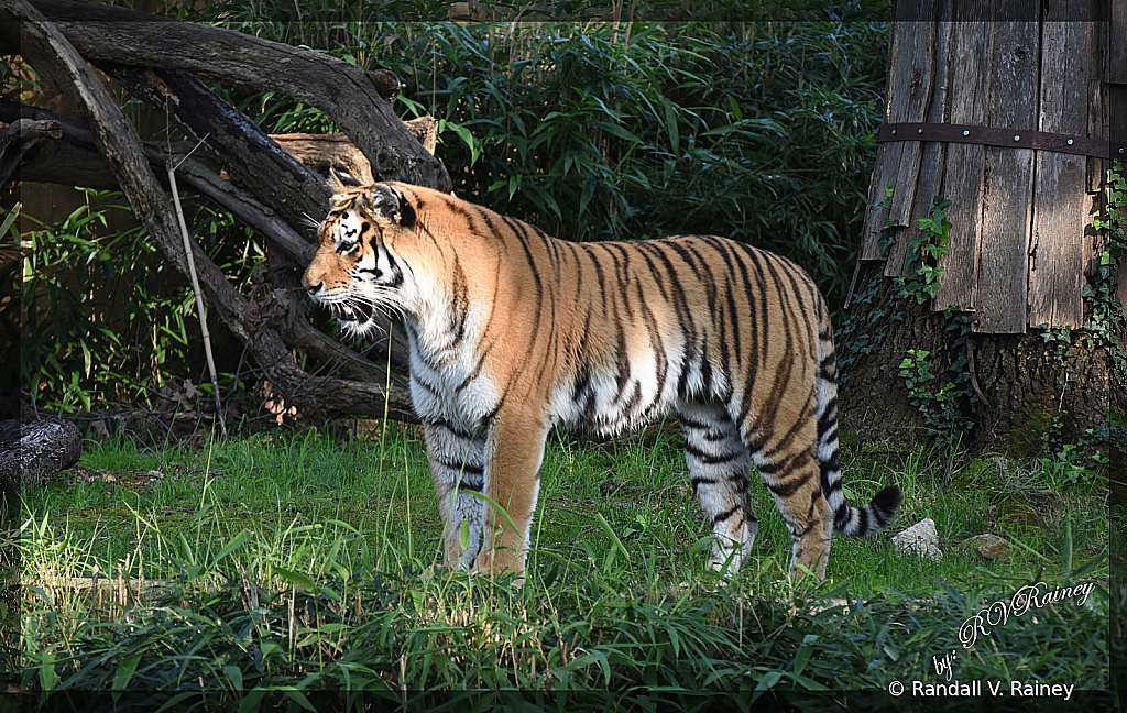 Tiger out for a stroll...