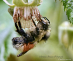 Bumble Bee Asleep...