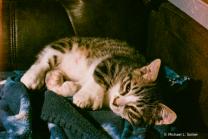 our polydactyl munchkin kitten