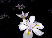 Flowers At Twilight 3