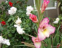 Gladiolus & Roses