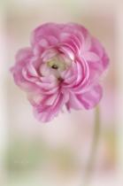Ranunculus Posing