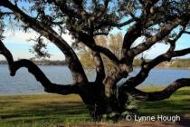 Pensacola Tree
