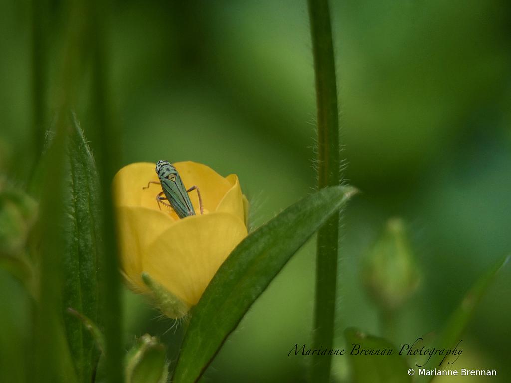 Blue-Green Leaf Hopper