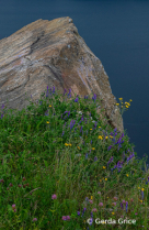 Wild Flowers at the Base of a Rock, NL,Canada