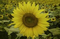 Sunflower4  2762