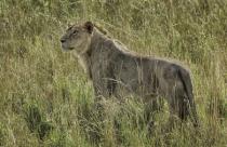 Lioness  2560