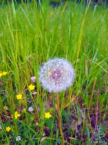 Decadent Dandelion