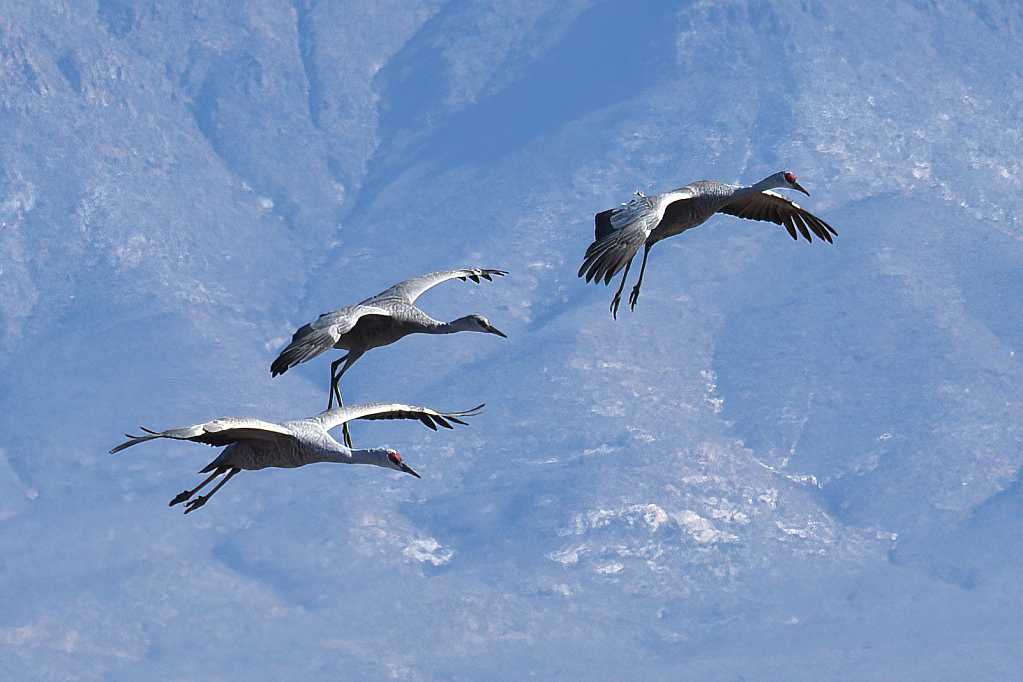 Sandhill Cranes On Final Approach - ID: 15820539 © William S. Briggs