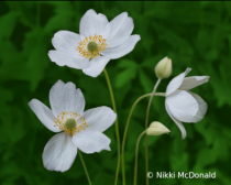 Anemone Canadensis - Trio with Buds