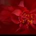 2Hibiscus Red Dragon - ID: 15820508 © Carol Eade
