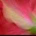 2Watercolor Hibiscus - ID: 15820511 © Carol Eade