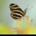 2Zebra In My Garden - ID: 15820518 © Carol Eade
