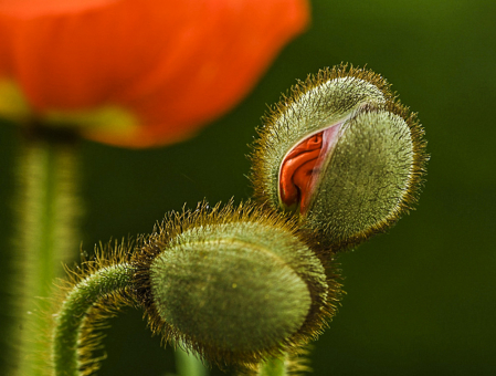 Stages of a Poppy