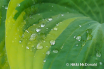Rain on Hosta Leaf