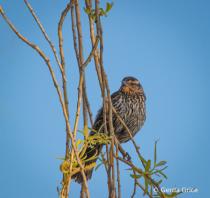 Female Red Wing Blackbird on Almost Bare Bush