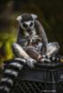 Lemur Baby Bath
