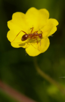 Ant Kissing a Buttercup