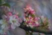 Spring Crabapple ...