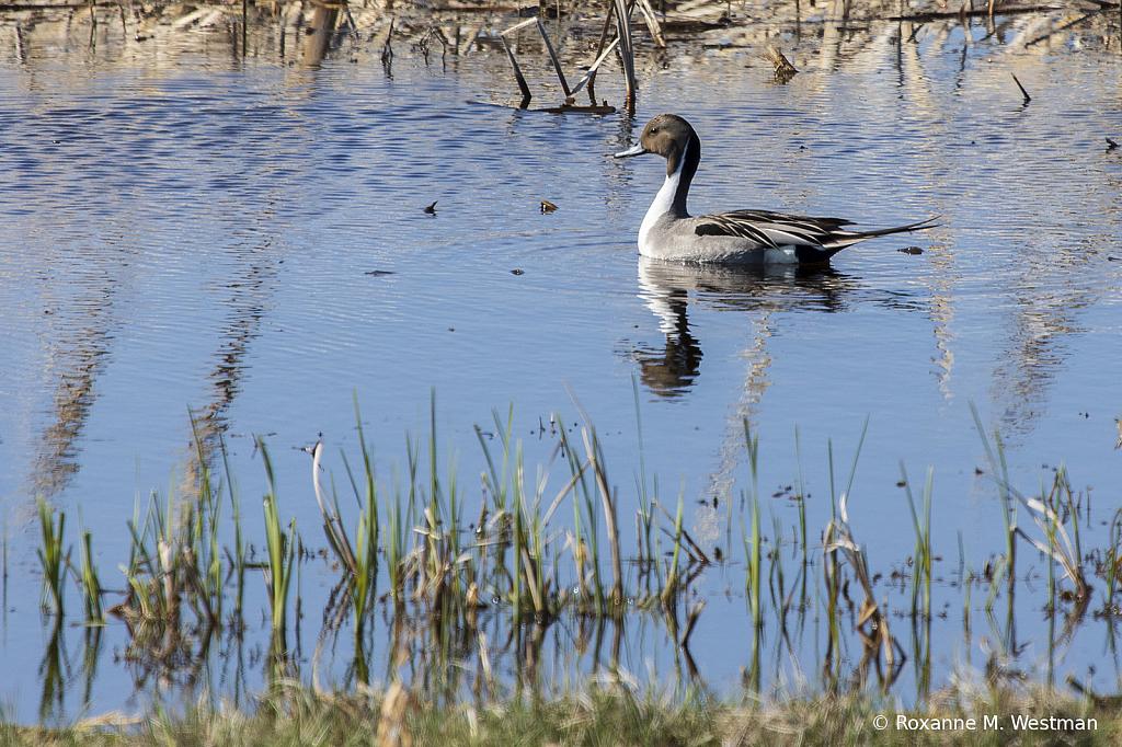 Northern Pintail - ID: 15821032 © Roxanne M. Westman