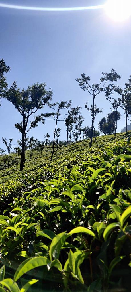 Sunrise trek at the coffee plantation