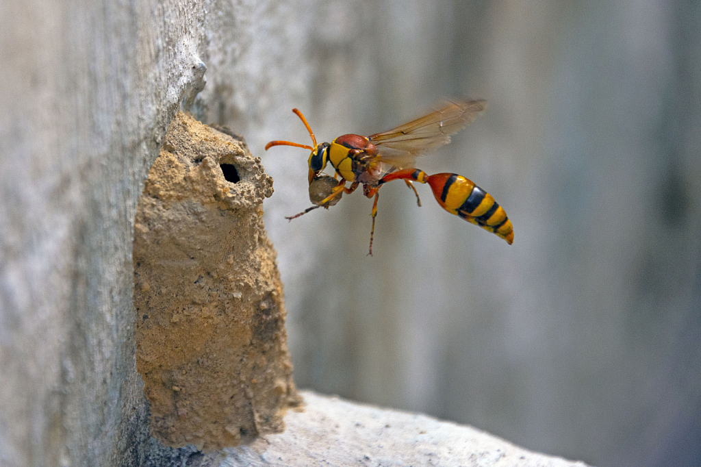 Potter wasp with Nesting material