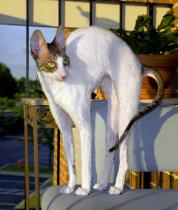 White Cat with a Black Cat Bone