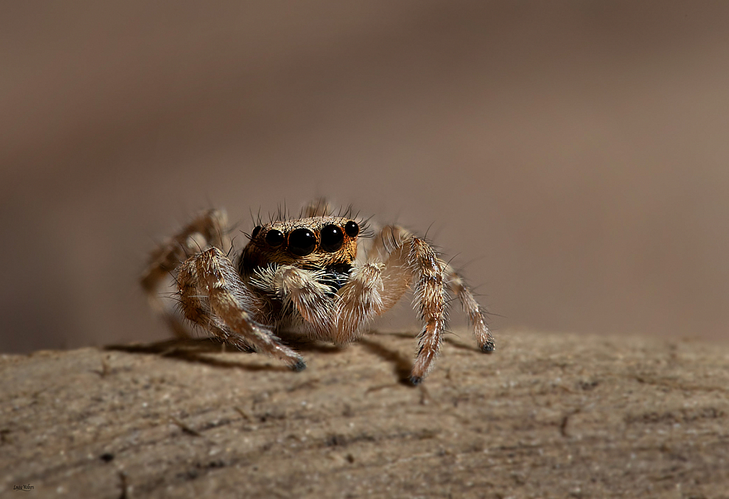 Jumping Spider 2