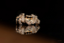 Jumping Spider `1