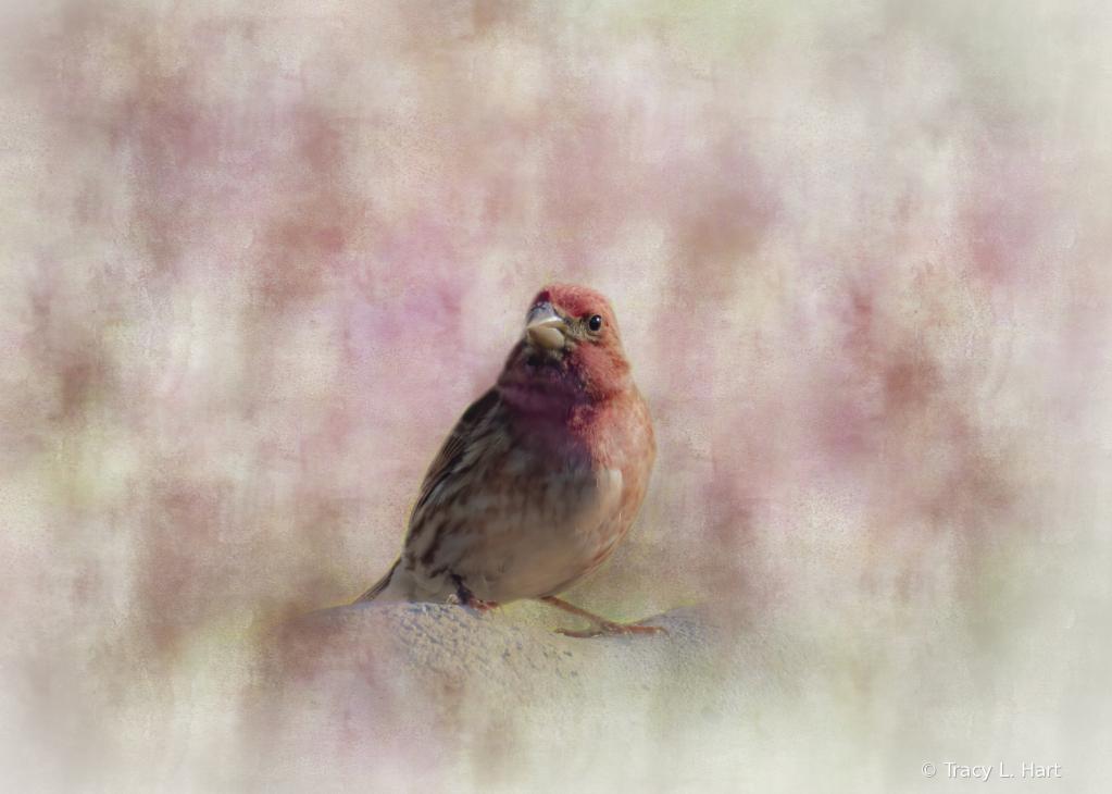 Male Finch