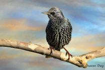 Artistic Starling