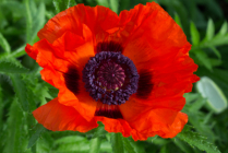 Oriental Poppy 2